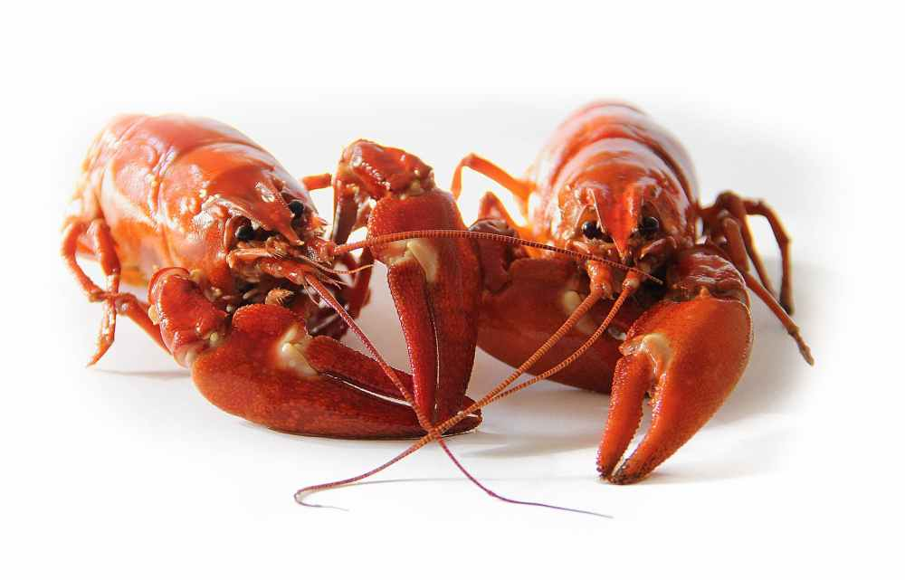 crayfish-sweden-crayfish-party-red-52959.jpeg